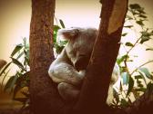Braucht ein Koala Hypnose zum Schlafen?